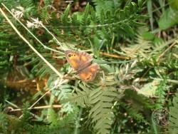 Butterflies Of Rough Grassland 04