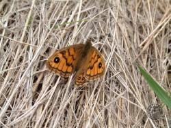 Butterflies Of Rough Grassland 07
