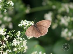 Butterflies Of Rough Grassland 13