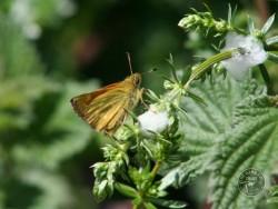 Butterflies Of Rough Grassland 17