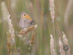 Butterflies Of Rough Grassland Kevin Keatley 01