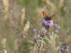 Butterflies Of Rough Grassland Kevin Keatley 02