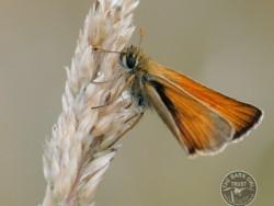Butterflies Of Rough Grassland Tom Williams 01