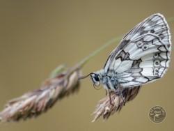 Butterflies Of Rough Grassland Tom Williams 02
