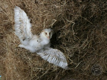 Dead Barn Owlet