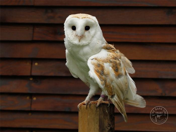 Del - adopt a Barn Owl
