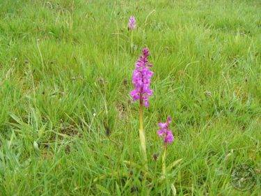 Early Purple Orchids In The LLP Wildlife Diary April 2019