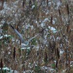 Hen Harrier Over Winter Bird Crop LLP Wildlife Diary February 2019