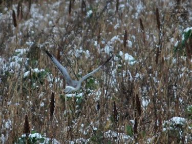 Hen Harrier Over Winter Bird Crop LLP Wildlife Diary February 2019