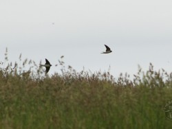 bird wallpapers - house martins uk