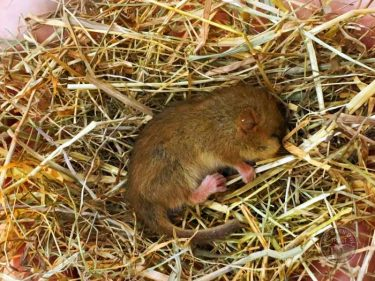 LLP Dormouse Found Hibernating LLP Wildlife Diary November 2017