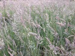 BOT LLP Wildflowers Grasses 14