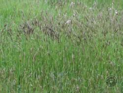 BOT LLP Wildflowers Grasses 17
