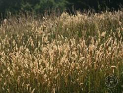 BOT LLP Wildflowers Grasses 18