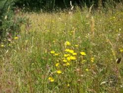 BOT LLP Wildflowers Grasses 24