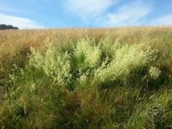 BOT LLP Wildflowers Grasses 25