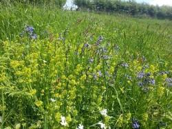 Lennon Legacy Project Wildflowers Bluebell Crosswort