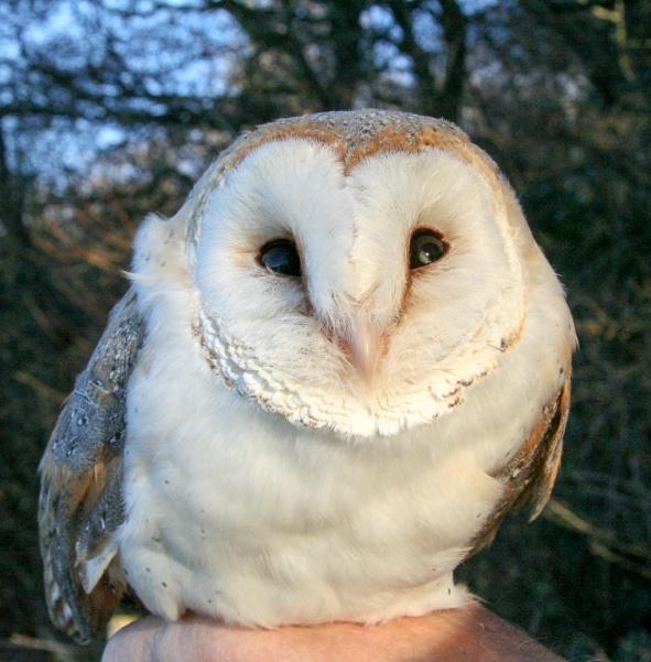The Oldest Wild British Barn Owl The Barn Owl Trust