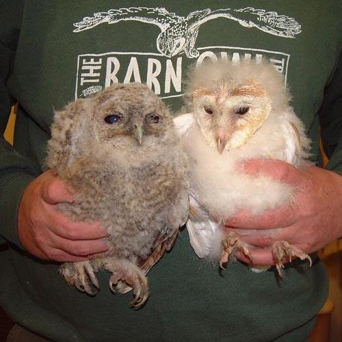 Owl Aid Owlet Rescue