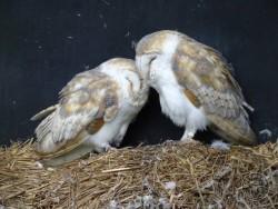 Owls In Barn Owl Trust Sanctuary 01