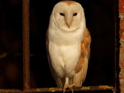 Perched Barn Owl Russell Savory