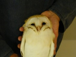 Sexing Barn Owls 02