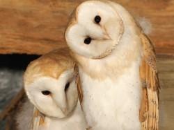 Sexing Barn Owls Kevin Keatley 02