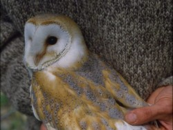 Sexing Barn Owls Muzz Murray