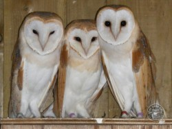 Sexing Barn Owls Breast Spotting