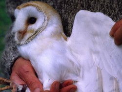 Sexing Barn Owls Underwing 01