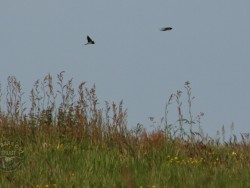 Bird wallpapers - Swallows flying