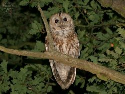 Tawny Owl In Woodland [Nick Sampford]
