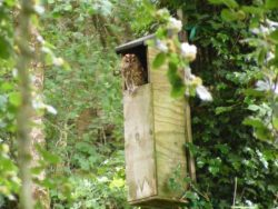 Tawny Owl in a nestbox [Barn Owl Trust]