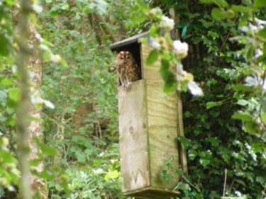 Tawny Owl Nestbox In The LLP Wildlife Diary June 2019