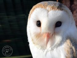 Tormund - adopt a barn owl