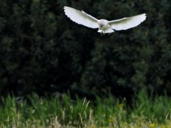 UK Owl Species Barn Owl Craig Jones