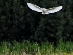 UK Owl Species Barn Owl Craig Jones