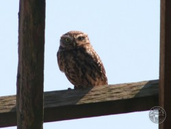 UK Owl Species Little Owl