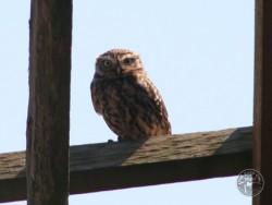 UK Owl Species Little Owl
