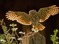 UK Owl Species Little Owl Russell Savory