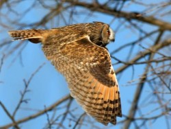 UK Owl Species Long Eared Owl Katarina Paunovic 02