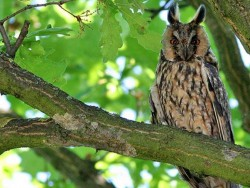UK Owl Species Long Eared Owl Katarina Paunovic