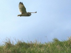 UK Owl Species Short Eared Owl Nick Sampford