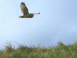 UK Owl Species Short Eared Owl Nick Sampford