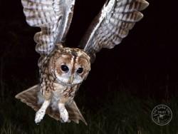UK Owl Species Tawny Owl Kevin Keatley
