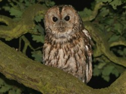 UK Owl Species Tawny Owl Nick Sampford