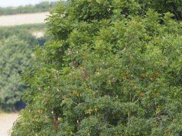 Winter Bird Crop Linnets LLP Wildlife Diary July 2018