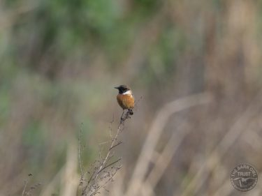 Winter Bird Crop Stonechat LLP Wildlife Diary March 2019