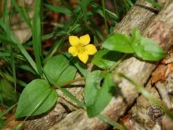 Yellow Pimpernell (Lysimachia Nemorum)