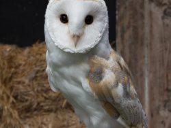 Adopt a Barn Owl - Baley